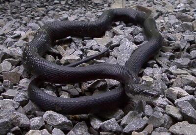 Adult Rat Snake