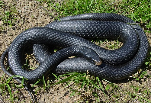 Black Racer Not Car Its Snake
