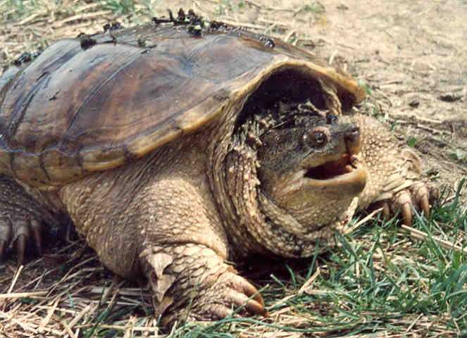 Common snapping turtle videos, photos and facts - Chelydra ...