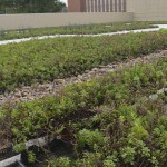 The green roof on top of the Engineering Complex has many green properties including extending the life of the roof, reducing heating and cooling costs, providing habitats for wildlife and diverting water from the storm drain system.