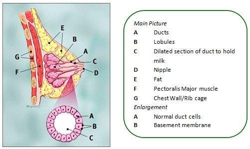 Breast anatomy diagram - Women\'s Center - Marshall University