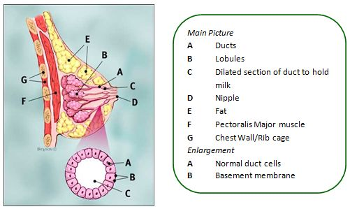 Breast-anatomy-diagram